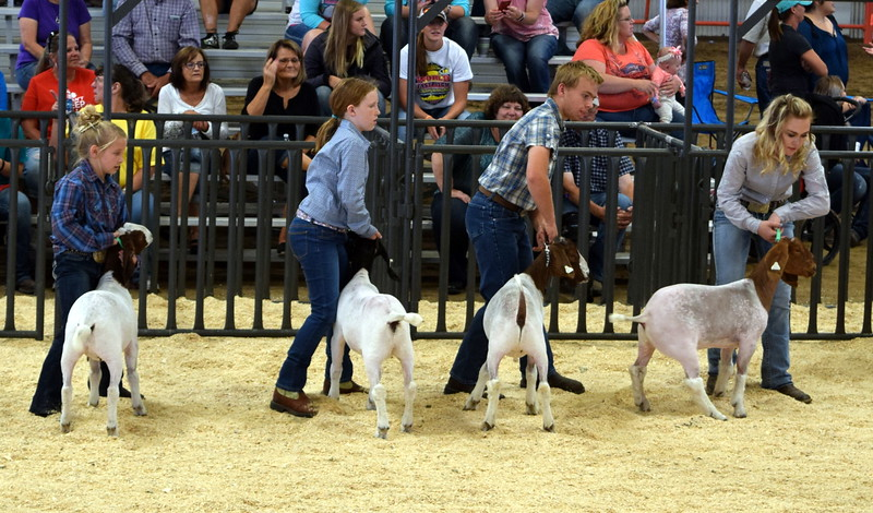 Middle weight contest Logan County Fair Junior Goat Show Wednesday, Aug. 8, 2018.
