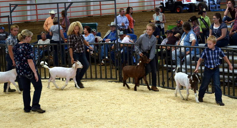 Lightweight contest Logan County Fair Junior Goat Show Wednesday, Aug. 8, 2018.