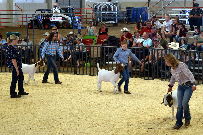 Middle heavyweight contest Logan County Fair Junior Goat Show Wednesday, Aug. 8, 2018.