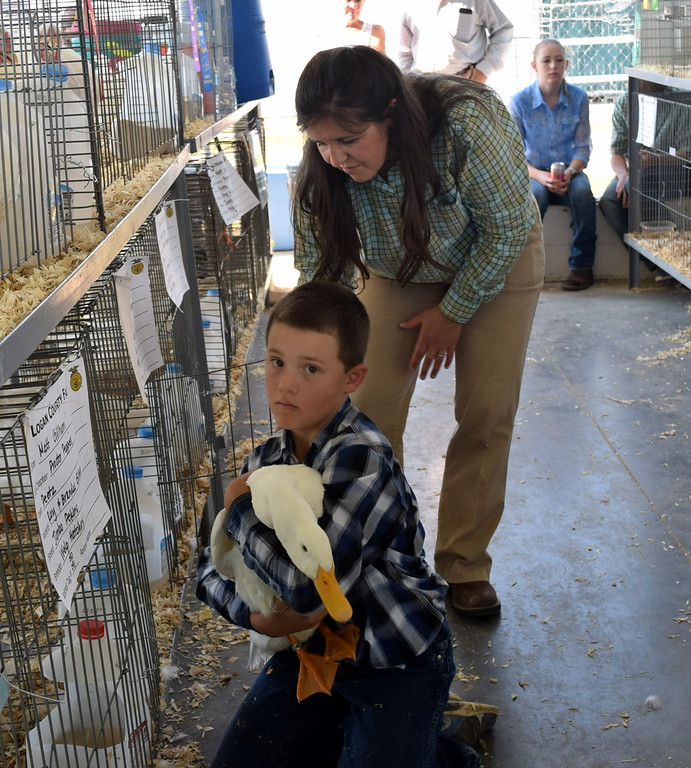 . Matt Gillham pulls out his duck for judge Kyla Foltz to see during the market duck pairs class contest at the Logan County Fair Junior Poultry Show Thursday, Aug. 9, 2018.