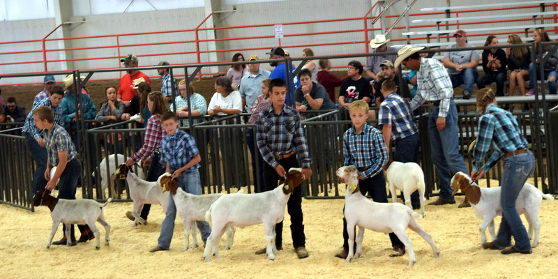 Intermediate showman competitors lead their animals around the ring during the Junior Goat Show Wednesday, Aug. 9, 2017, at the Logan County Fair.
