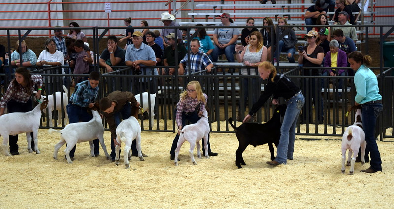 Competitors in the second heat of the intermediate showmanship contest position their animals during the Junior Goat Show Wednesday, Aug. 9, 2017, at the Logan County Fair.