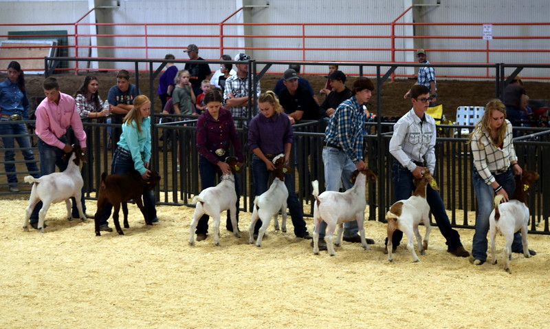 Senior showman competitors position their animals during the Junior Goat Show Wednesday, Aug. 9, 2017, at the Logan County Fair.