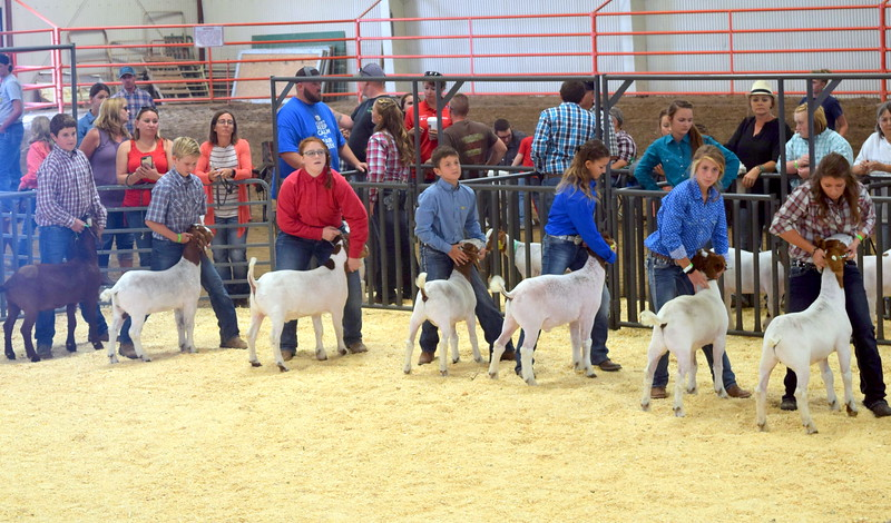Competitors in the second round of the intermediate showmanship contest position their animals during the Junior Goat Show Wednesday, Aug. 9, 2017, at the Logan County Fair.