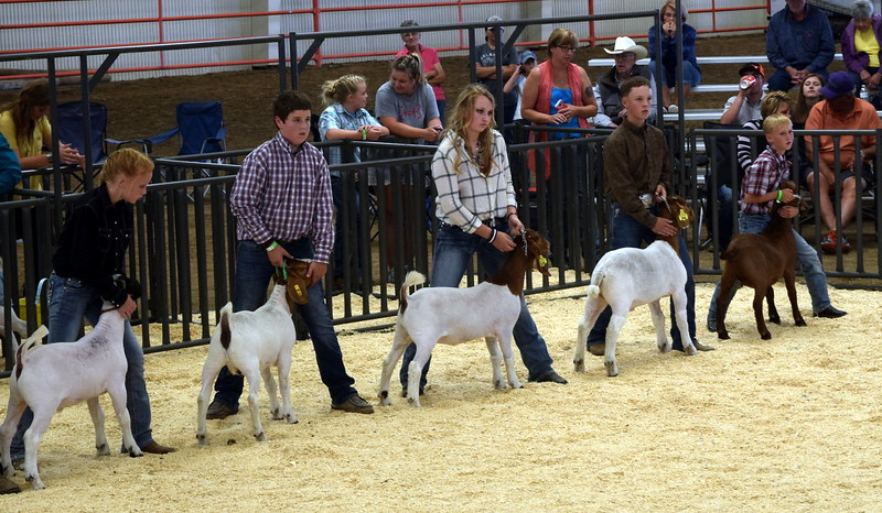 Competitors in the class 9 middle weight division watch the judge during the Junior Goat Show Wednesday, Aug. 9, 2017, at the Logan County Fair.