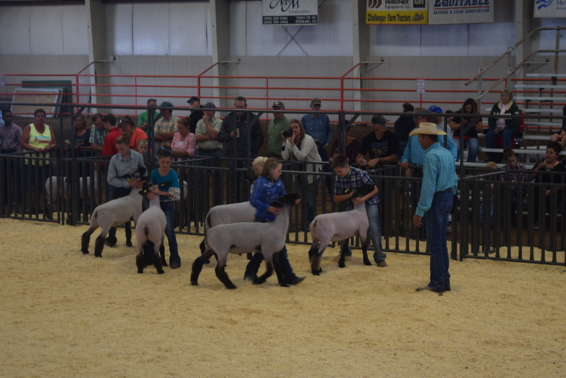 Class 4 middle weight competitors position their animals during the Junior Sheep Show Wednesday, Aug. 9, 2017, at the Logan County Fair.