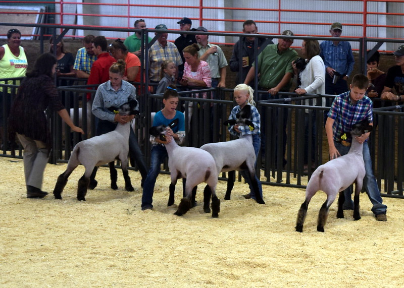 Class 4 middle weight competitors position their animals as the judge looks them over during the Junior Sheep Show Wednesday, Aug. 9, 2017, at the Logan County Fair.
