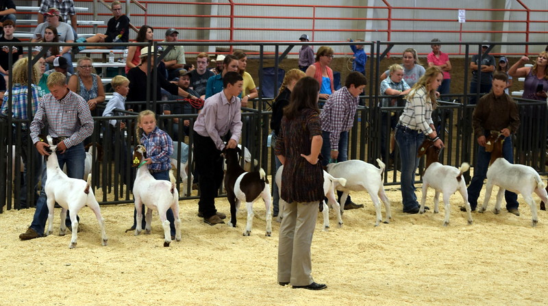 Class 9 middle weight competitors position their animals as the judge watches during the Junior Goat Show Wednesday, Aug. 9, 2017, at the Logan County Fair.