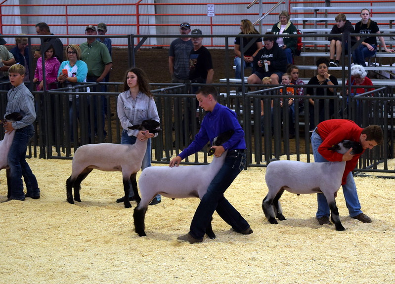 Class 3 middle weight competitors position their animals during the Junior Sheep Show Wednesday, Aug. 9, 2017, at the Logan County Fair.