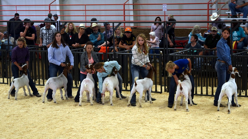 Top finalists in the senior showmanship contest position their animals during the Junior Goat Show Wednesday, Aug. 9, 2017, at the Logan County Fair.