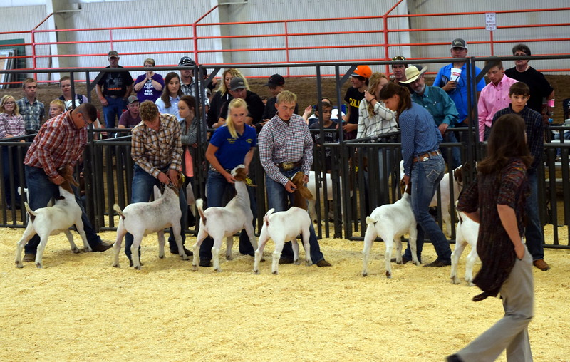 Competitors in the second round of the senior showmanship contest watch as the judge looks over their animals during the Junior Goat Show Wednesday, Aug. 9, 2017, at the Logan County Fair.