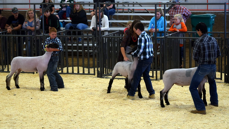 The judge looks over the top competitors animals in the class 5 middle weight division during the Junior Sheep Show Wednesday, Aug. 9, 2017, at the Logan County Fair.