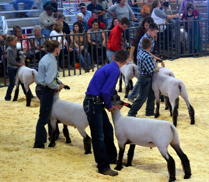 Champion middle weight competitors position their animals during the Junior Sheep Show Wednesday, Aug. 9. 2017, at the Logan County Fair.