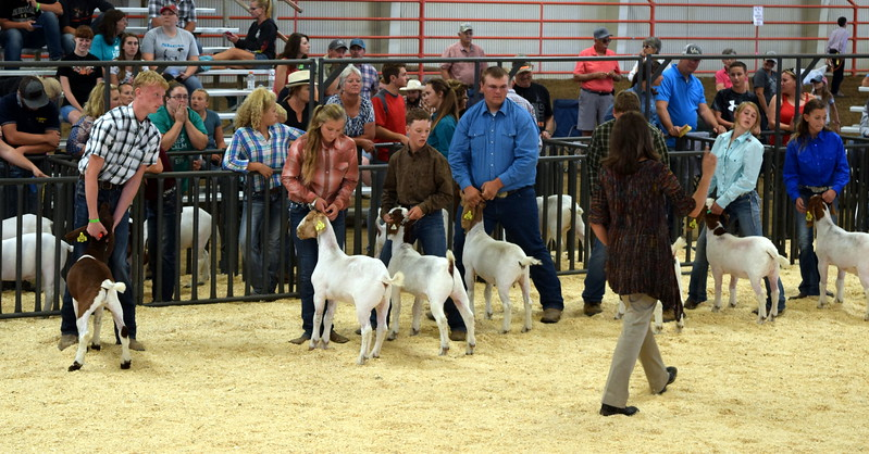 The judge looks over animals in the class 10 middle weight division during the Junior Goat Show Wednesday, Aug. 9, 2017, at the Logan County Fair.