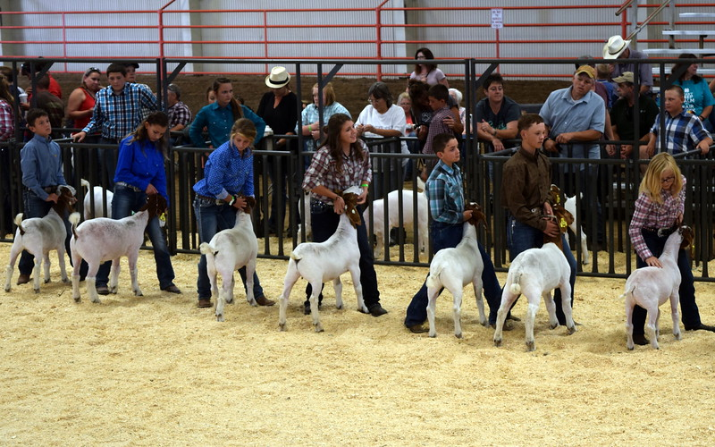 Competitors in the intermediate showmanship contest position their animals at the Logan County Fair Junior Goat Show Wednesday, Aug. 9, 2017.