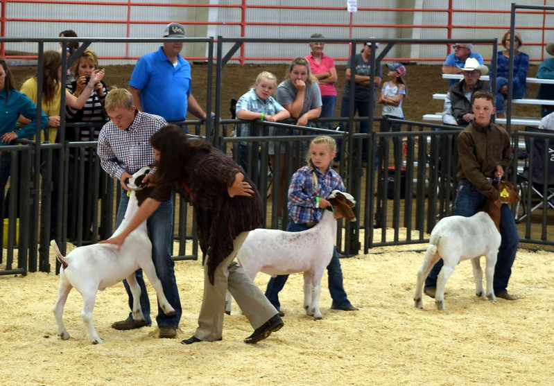 The judge looks over competitors animals in the class 9 middle weight division during the Junior Goat Show Wednesday, Aug. 9, 2017, at the Logan County Fair.