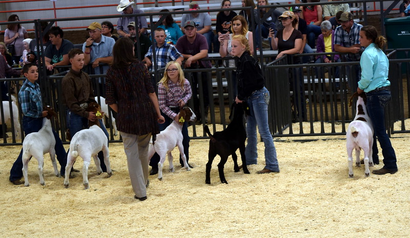 Finalists in the intermediate showmanship contest watch the judge as she looks over their animals during the Junior Goat Show Wednesday, Aug. 9, 2017, at the Logan County Fair.