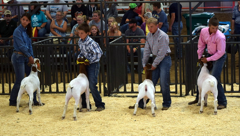 Senior showmanship finalists watch the judge as they position their animals during the Junior Goat Show Wednesday, Aug. 9, 2017, at the Logan County Fair.