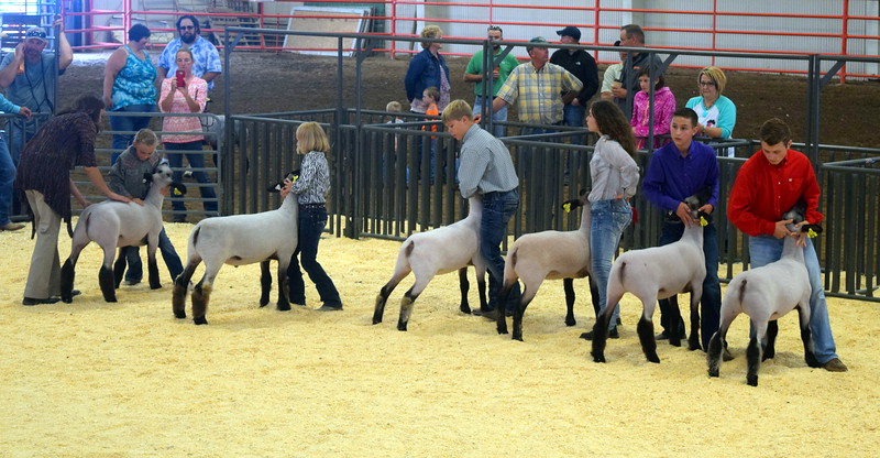 The judges looks over sheep in the class 3 middle weight division as competitors position their animals during the Logan County Fair Junior Sheep Show Wednesday, Aug. 9, 2017.