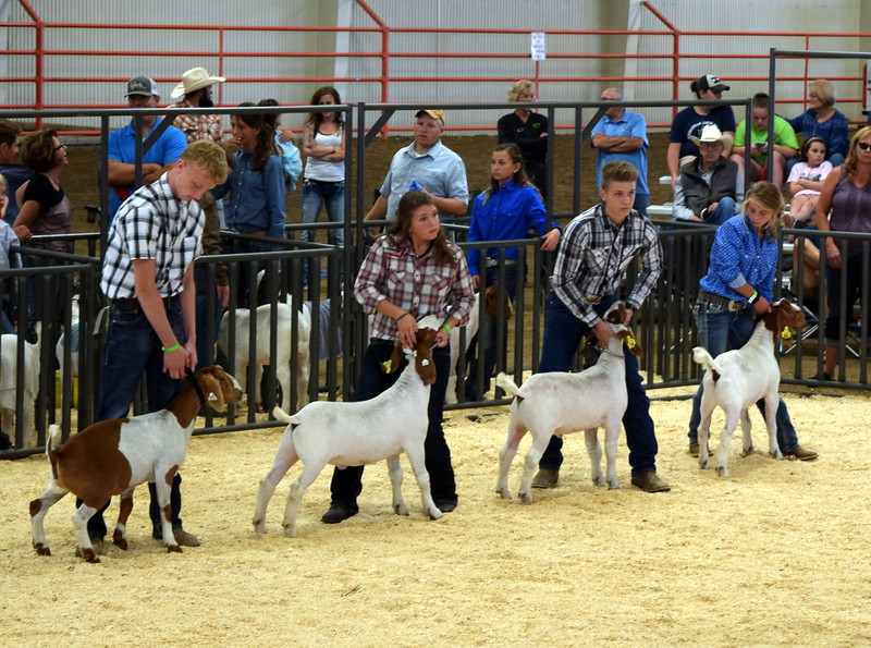 Competitors in the class 11 middle weight division watch the judge during the Junior Goat Show Wednesday, Aug. 9, 2017, at the Logan County Fair.