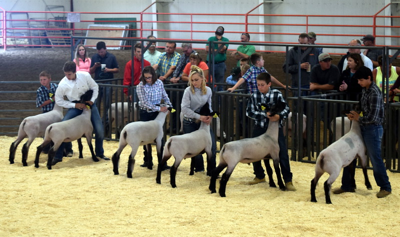 Competitors in the class 5 middle weight division position their animals during the Logan County Fair Junior Sheep Show Wednesday, Aug. 9, 2017.