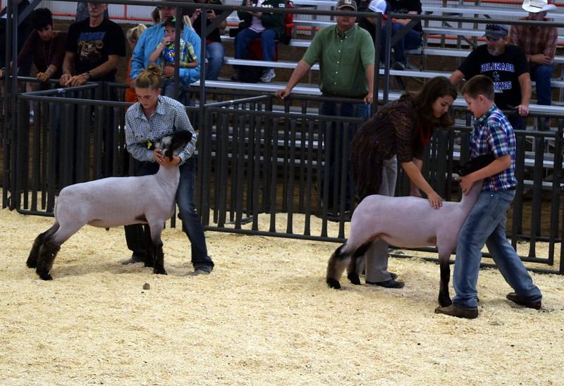 The judge looks over the top competitors animals in the class 4 middle weight division during the Junior Sheep Show Wednesday, Aug. 9, 2017, at the Logan County Fair.