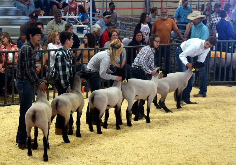 Class 5 middle weight competitors position their animals during the Junior Sheep Show Wednesday, Aug. 9, 2017, at the Logan County Fair.