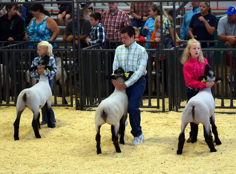 Class 6 middle weight competitors position their animals during the Junior Sheep Show Wednesday, Aug. 9, 2017, at the Logan County Fair.