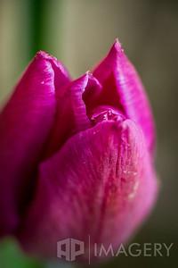 Macro - Tulip