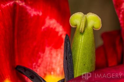Macro - Tulip 3