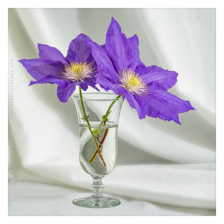 A Toast To Clematis