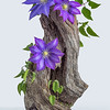 Drift Wood & Clematis