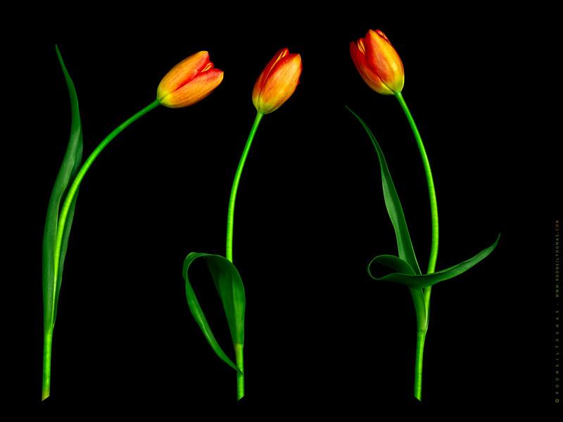 Tulip Talk