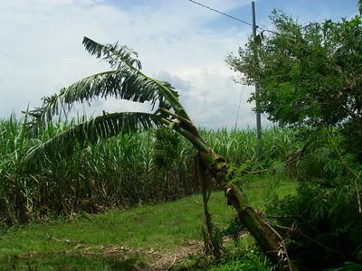 Bannana Tree
