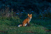 A red fox is illuminated by car lights as it sits in a roadside lookoff on the Cabot Trail  in Cape Breton Highlands National Park near Cheticamp