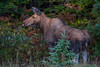 A female moose at roadside on the Cabot Trail  in Cape Breton Highlands National Park near Cheticamp