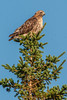 A red tailed hawk atop MacKenzie Mountain  in Cape Breton Highlands National Park near Pleasant Bay