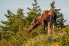 A female moose browes on leaves at a  lookoff on the Cabot Trail  in Cape Breton Highlands National Park near Cheticamp