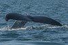 A humpback whale in the Bay of Fundy off Brier Island at the end of Digby Neck