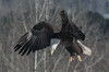 Bald eagles feeding at the annual Eagle Watch weekend  festival in Sheffield Mills near Kentville on the Evangeline Trail