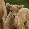 Bighorn sheep baby - Nature Stock Image by Professional Nature Photographer Christina Craft