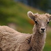 Bighorn sheep - Nature Stock Image by Professional Nature Photographer Christina Craft