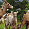 Licking for salt - bighorn sheep - Nature Stock Image by Professional Nature Photographer Christina Craft