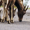 Bighorn sheep licking for salt along the road - Nature Stock Image by Professional Nature Photographer Christina Craft