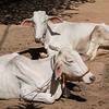 Two white cow lying on dirt, Siem Reap, Cambodia