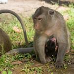 Close-up of monkey nursing its baby, Krong Siem Reap, Siem Reap, Cambodia