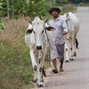 Man walking with cow on road, Siem Reap, Cambodia