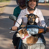 Happy woman with dogs riding moped, Preah Dak, Siem Reap, Cambodia