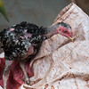 Close-up of chick on top of a sack, Siem Reap, Cambodia