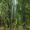 Bamboo trees in grove, Laos